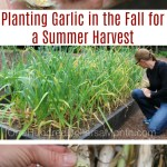 how to plant garlic archives one hundred dollars a month. Black Bedroom Furniture Sets. Home Design Ideas