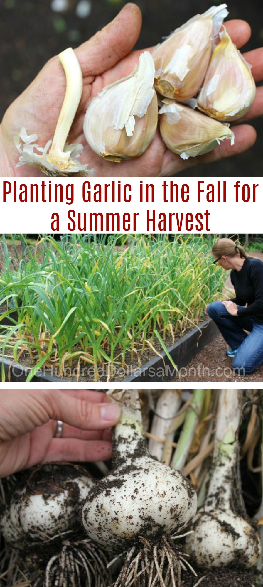 planting garlic in the fall for a summer harvest one hundred dollars a month. Black Bedroom Furniture Sets. Home Design Ideas