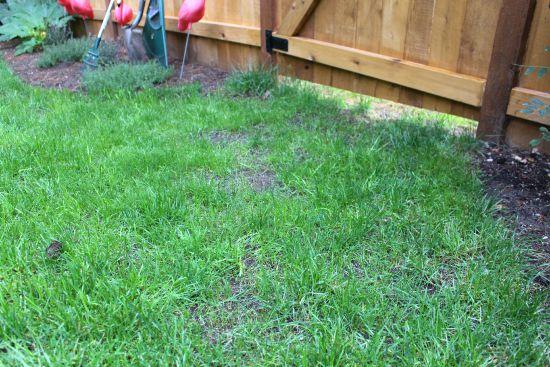 reseeding grass