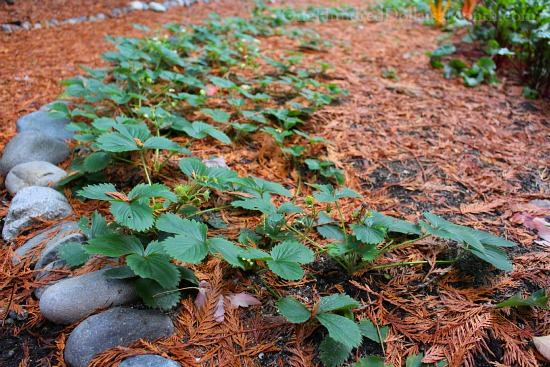 tristar strawberry plants in fall