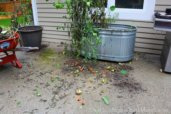 container tomato garden in fall