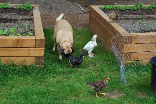 lucy puggle dog and baby chicks