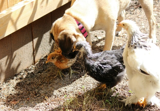 lucy the puggle dog and her baby chicks