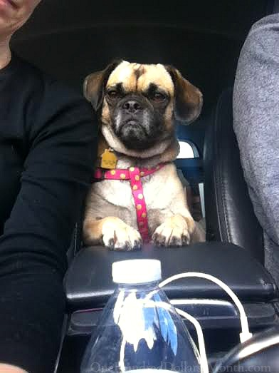 Lucy puggle car