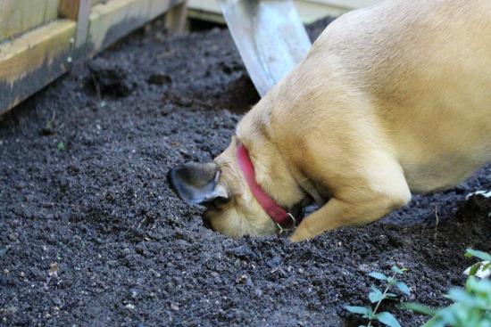 lucy-puggle-dog