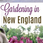 Gardening in New England – Cleaning Up the Potting Shed, Pulling Up Holly, and Mystery Plants of the Week