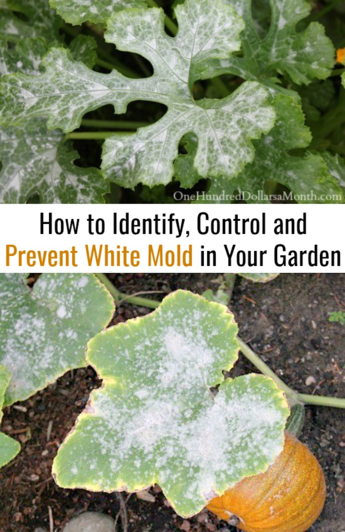 Craftsman Style Home Decorating Ideas: How To Identify, Control And Prevent White Mold In Your