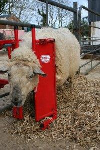 Stalled Sheep