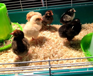 Learn everything you need to know about hatching chicks in the classroom.
