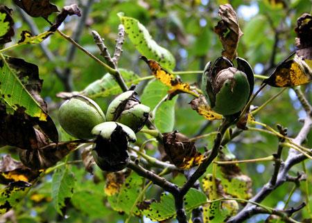 Walnuts Ripening