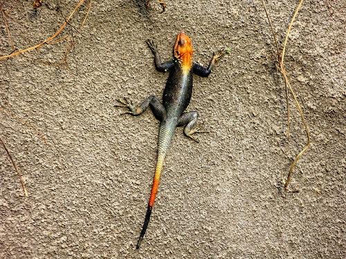 cameroon lizard
