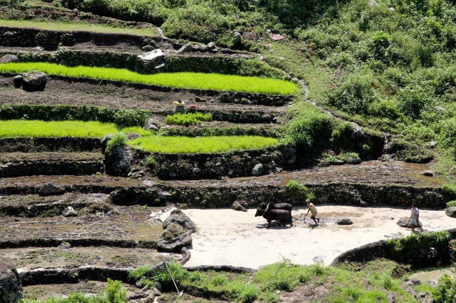A farmer is plowing the rice fields with water buffalos