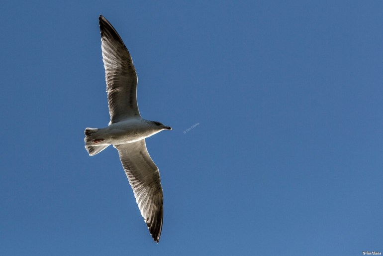 Seagull in Flight - Over Bournemouth Beach.