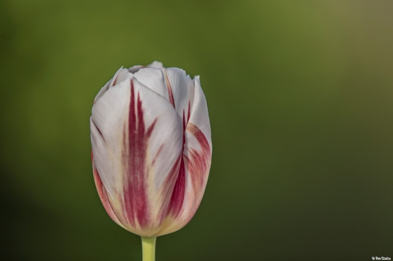 Tulip: Standing Tall and Proud.
