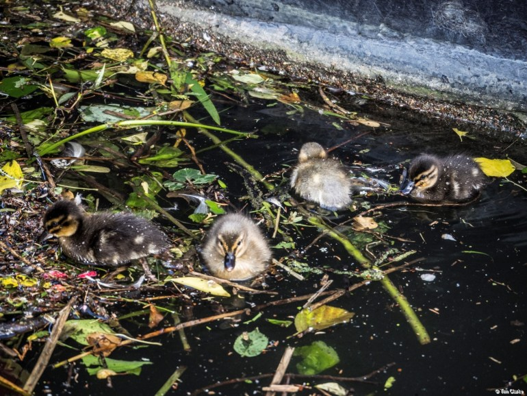 Ducklings: Swimming amongst the debris.