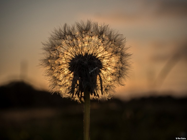 Dandelion Clock: Silhouetted against the Setting Sun.
