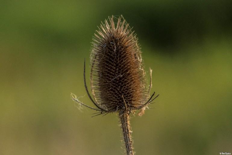 Teasel: Dipsacus - member of the Caprifoliaceae family.