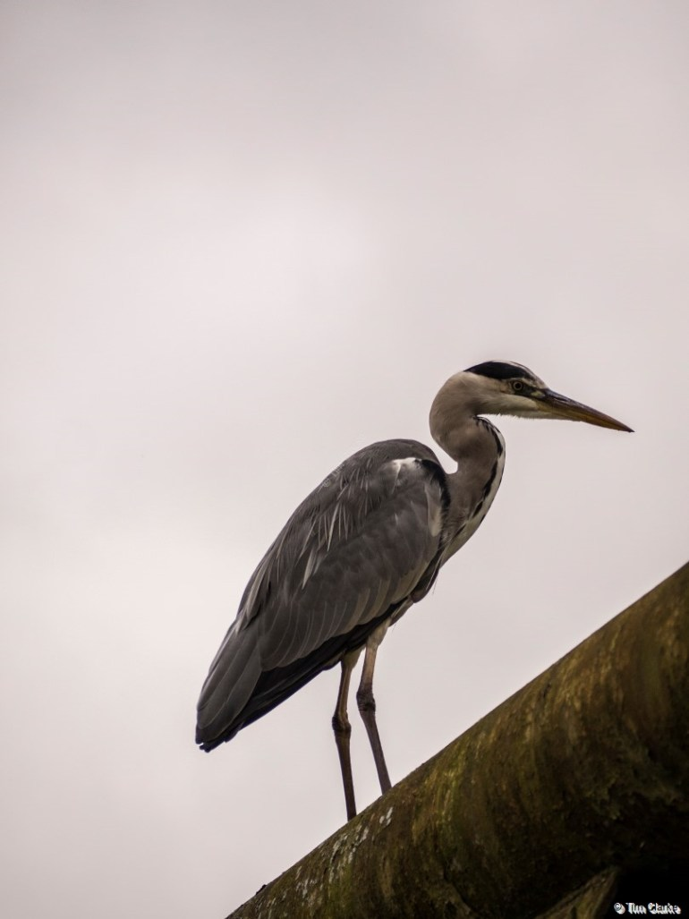 Heron: Sitting High on a Pipe Bridge.
