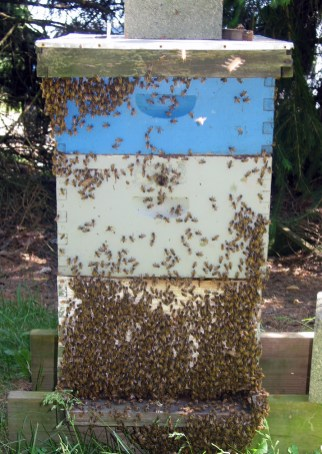 Crowded bees that are likely to swarm