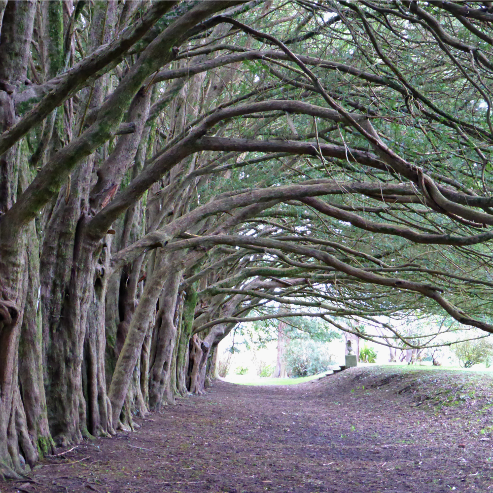 The 500 Year Old Yew Walk at Huntington Castle || www.onetripatatime.com