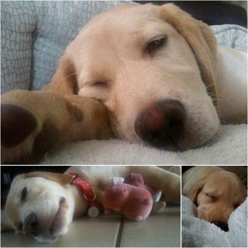 Bauer-Puppy-Collage
