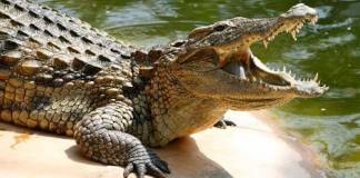 World's largest crocodile!