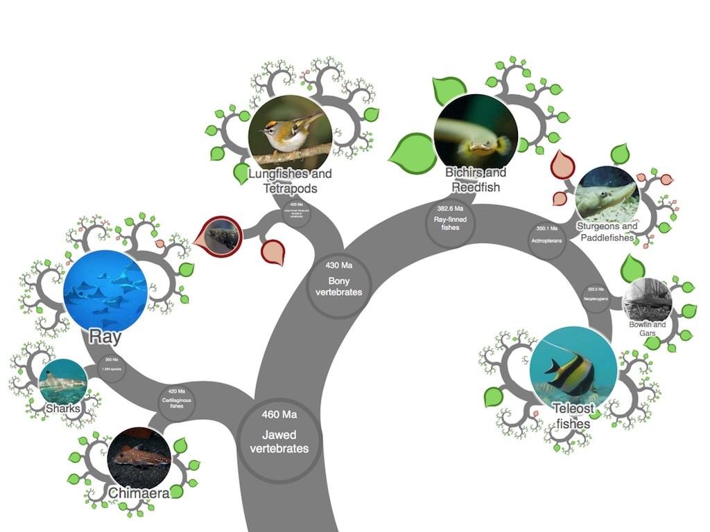 hight resolution of onezoom tree of life explorer tree life cycle diagram arthropods the jawed vertebrates