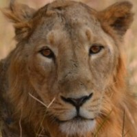Portrait Shots of Asiatic Lion