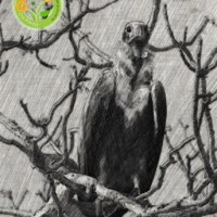 The Vanishing Vultures of India
