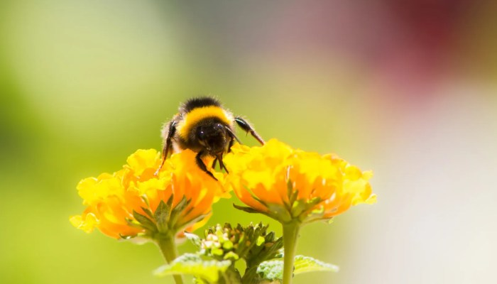 Hommel verzameld nectar op bloem