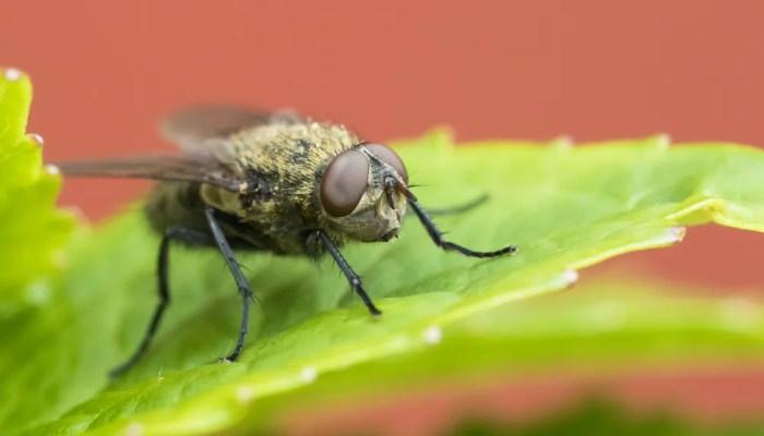 Hoe kan je klustervliegen in huis bestrijden?