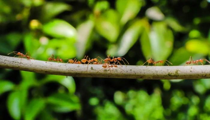 mierenkolonie op een tak