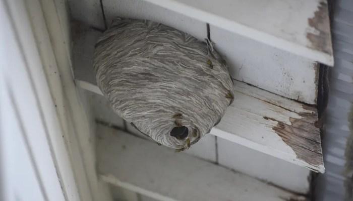 Wespennest onder het dak