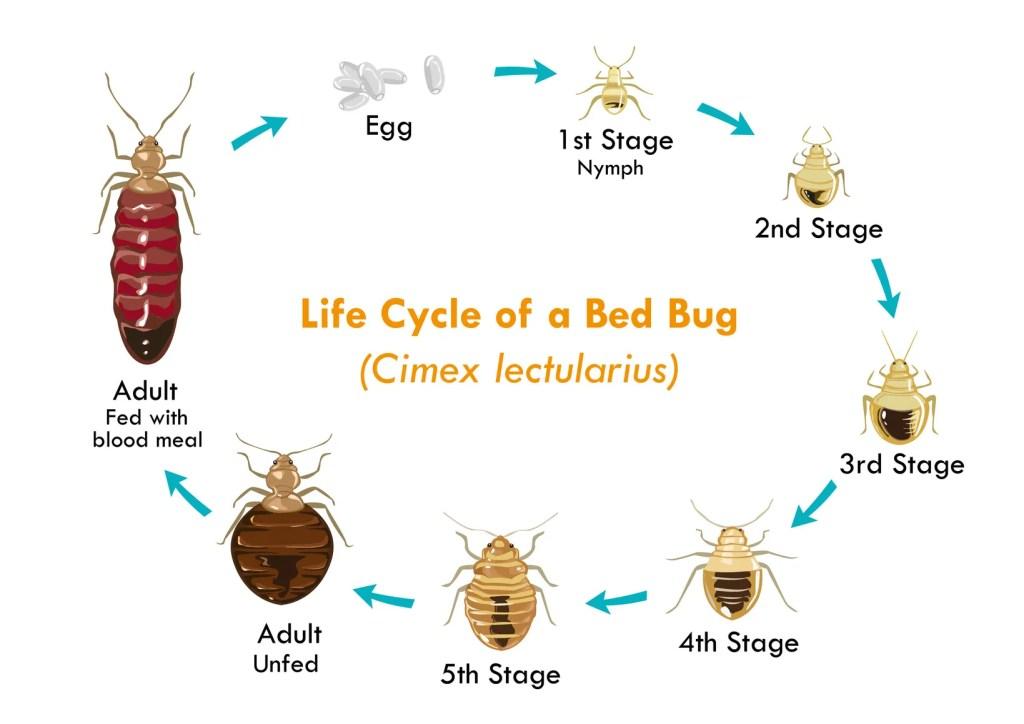 De levenscyclus van een bedwants