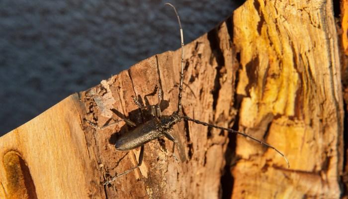 Plaag van Oost-Aziatische boktorren in de gemeente Westland