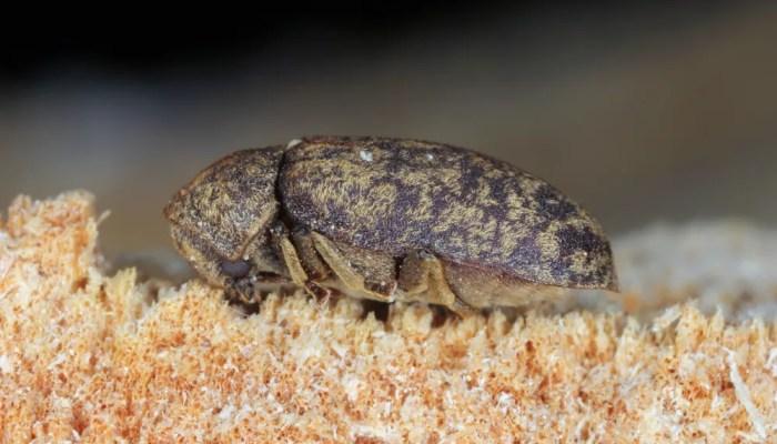 Wistjedatjes – Houtworm
