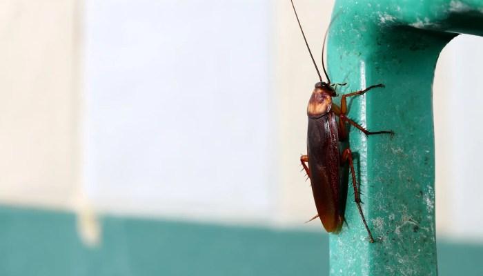 Bruine kakkerlak op buis