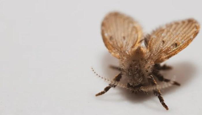 Motmuggen veel aanwezig in West- en Midden Nederland