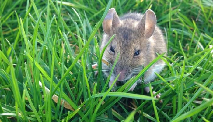 Muis in de tuin op een groen grasveld