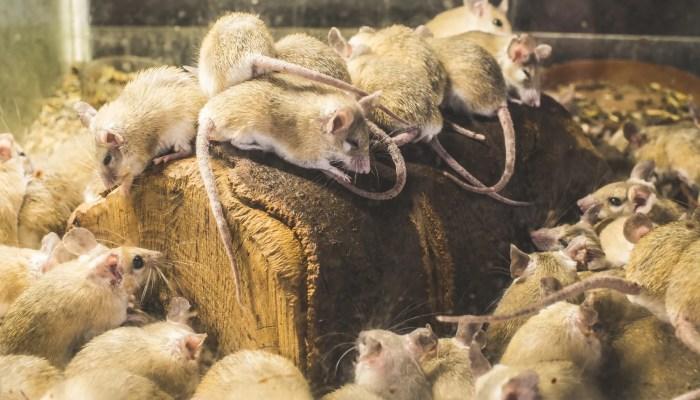 300 ratten in één woning