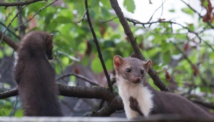 Last van steenmarter of ratten in huis?