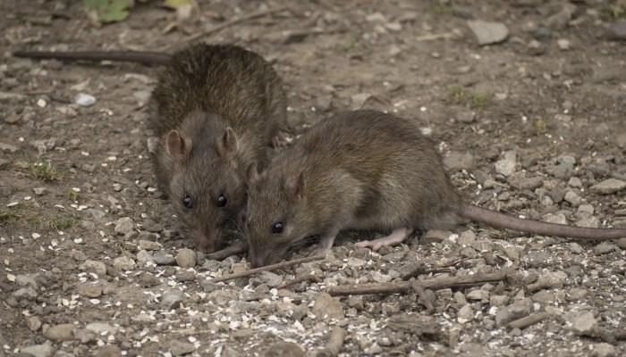 Rattenprobleem Deventer is niet iets van de laatste tijd