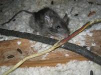 Rat control Dublin