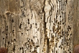 Woodworm damage - effective woodworm treatment