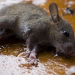 Glue traps are illegal and cruel method of rat control