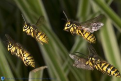 Wasps in formation flight