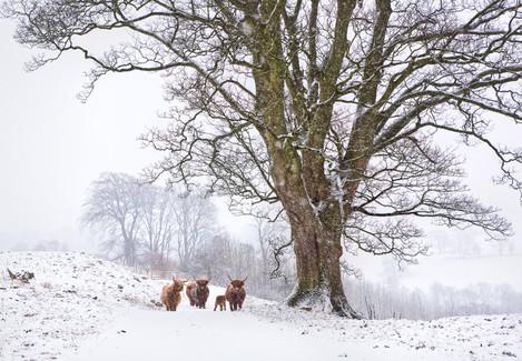 3288_snowy_marske_cattle-Edit-Edit