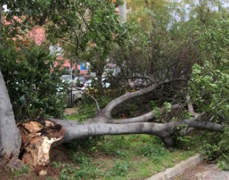 Ξεριζώθηκε δένδρο στην Ταχυδρομείου από τη βροχή - Από τύχη δεν είχαμε τραυματισμό