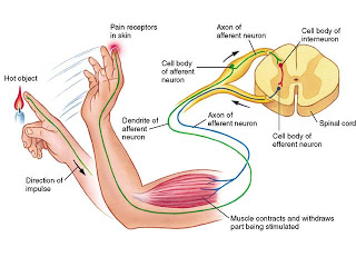 diagram of a simple reflex arc wiring for caravan how is the action occur in human body ? | science online