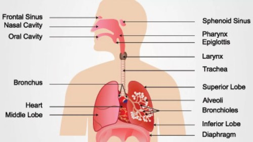 small resolution of diagram of respiratory system nose